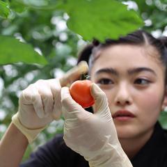 イノサク、トマト農家に弟子入り?!収穫編(東京・清瀬市)