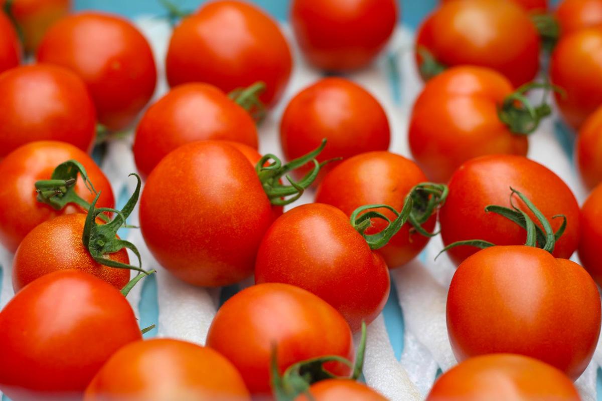 関ファームで収穫された元気なトマト