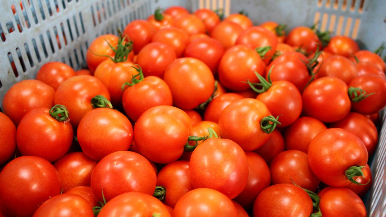 関ファームで収穫されたトマト